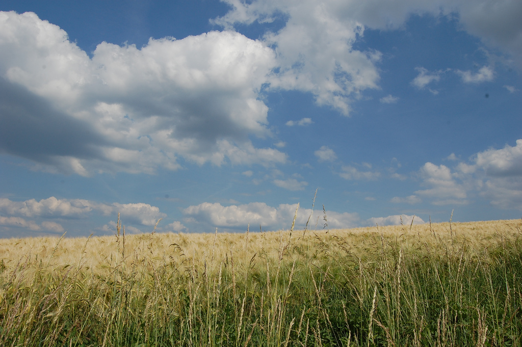 Cornfield and blue skies